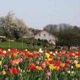 Blumenfeld und Kühe