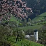 Kirchturm und blühende Zweige